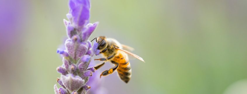 Bee venom is used in skincare products and skin creams to tighten skin and rejuvenate.