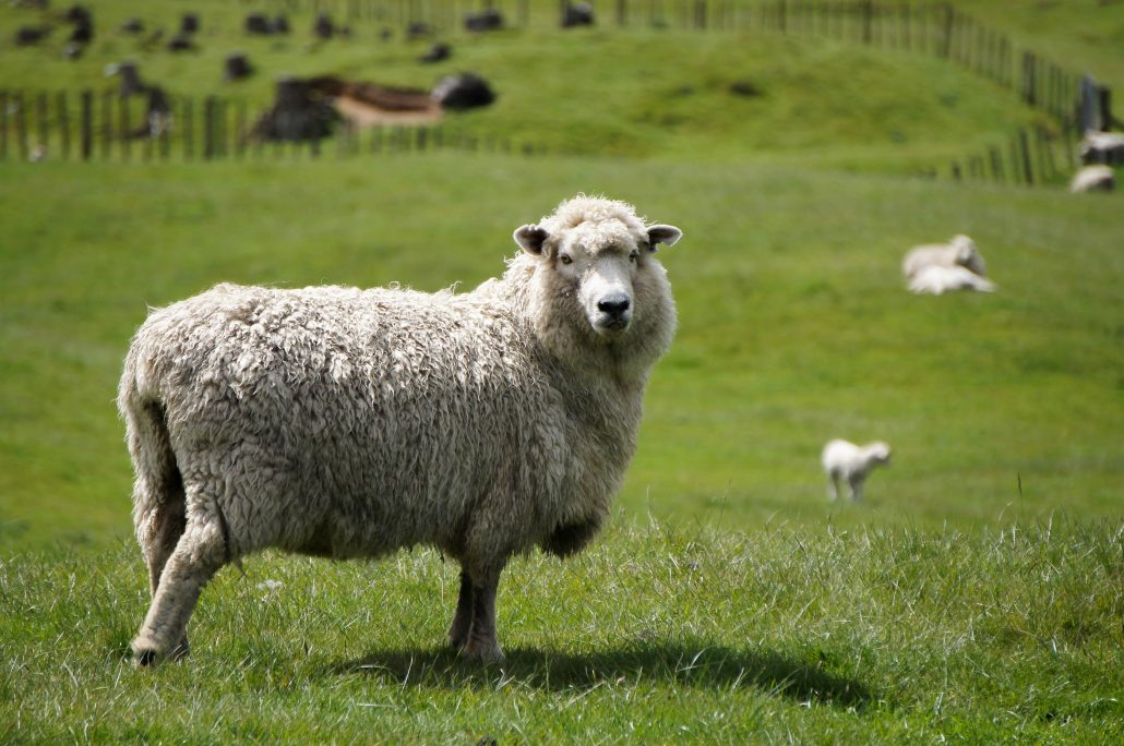 Lanolin is used in skincare and lotions and comes from sheep in New Zealand.