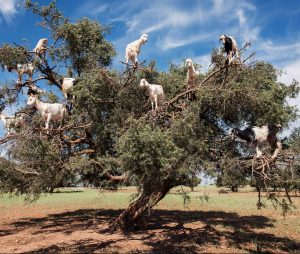 goats climbing argan nut tree, which produces argan oil
